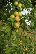 August 18th Apples Elcho Castle Scotland